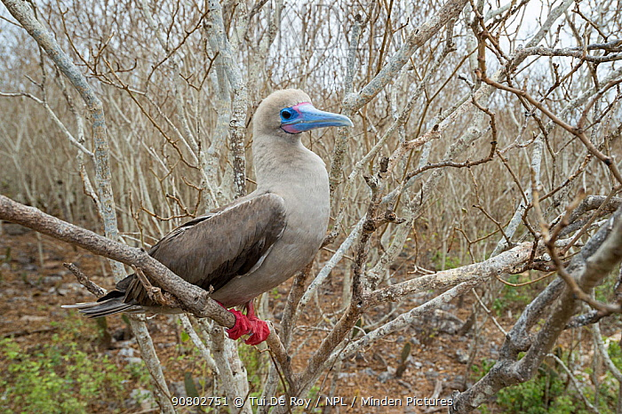 Red-footed booby (Sula sula) perched amongst branches. Wolf Island, Galapagos.