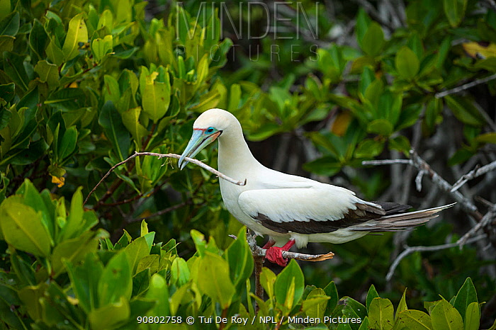 Red-footed booby (Sula sula) with nesting material, perched in tree. Darwin Bay, Genovesa Island, Galapagos.