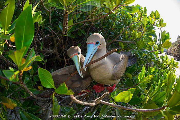 Red-footed booby (Sula sula), pair nest building in tree. Darwin Bay, Genovesa Island, Galapagos.