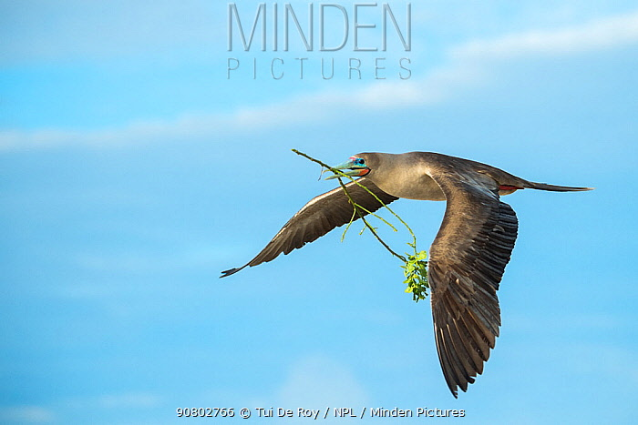 Red-footed booby (Sula sula) flying with nesting material in beak. Genovesa Island, Galapagos.