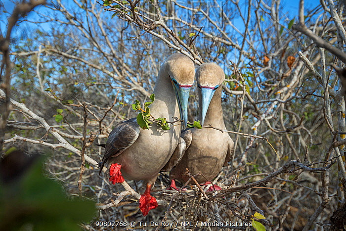 Red-footed booby (Sula sula), pair with twig in beaks, nest building in tree. Genovesa Island, Galapagos.