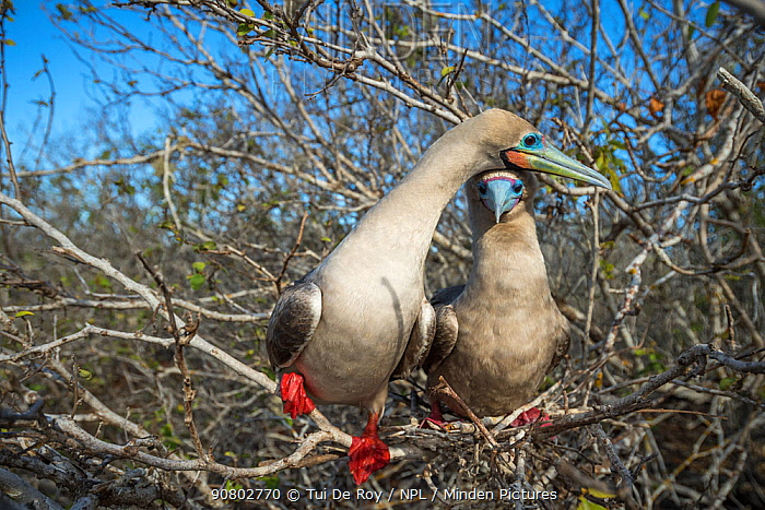 Red-footed booby (Sula sula), pair perched in tree. Genovesa Island, Galapagos.