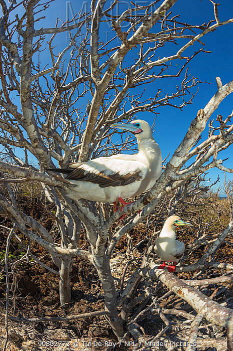 Red-footed booby (Sula sula), two perched in tree. Genovesa Island, Galapagos.