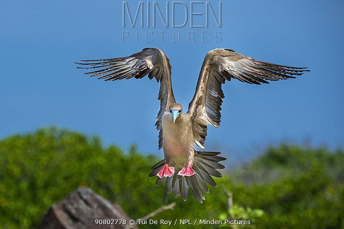 Red-footed booby (Sula sula) landing. Genovesa Island, Galapagos.