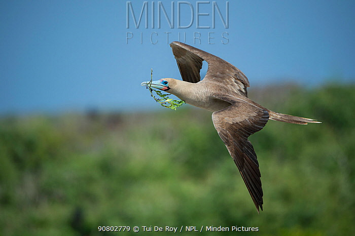 Red-footed booby (Sula sula) in flight with nesting material in beak. Genovesa Island, Galapagos.