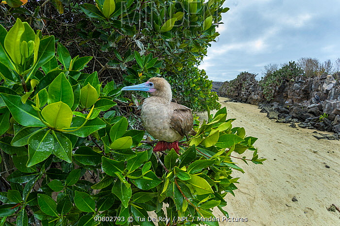 Red-footed booby (Sula sula) perched in tree. Genovesa Island, Galapagos.