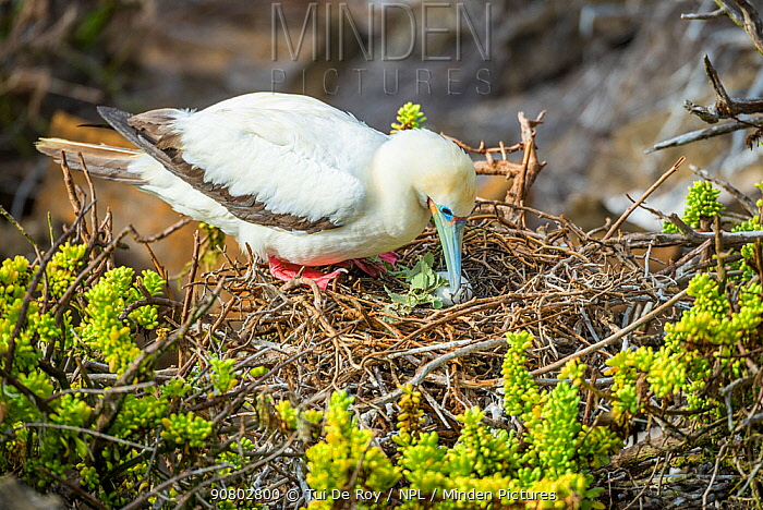 Red-footed booby (Sula sula) at nest with egg. Punta Pitt, San Cristobal Island, Galapagos.