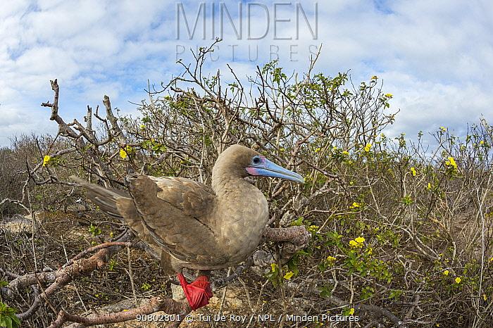 Red-footed booby (Sula sula) perched in bush, Genovesa Island, Galapagos.