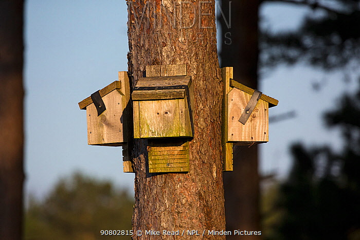 Bat (Chiroptera) roosting boxes on Scots pine (Pinus sylvestris), Wareham Forest, Isle of Purbeck, Dorset, England, UK, April 2018