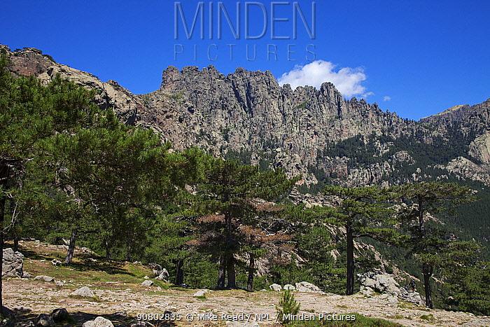 Corsican pine (Pinus nigra laricio) with peaks of Aiguilles de Bavella in background. Col de Bavella, Corsica, France. July 2018