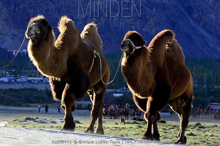 Bactrian camels (Camelus bactrianus) Nubra Valley. Ladakh, India, September 2018.