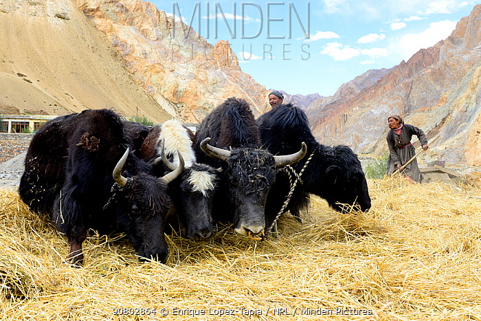 Domestic yaks threshing cereal crop, village of Kanji, Zanskar .Ladakh, India, September 2018.