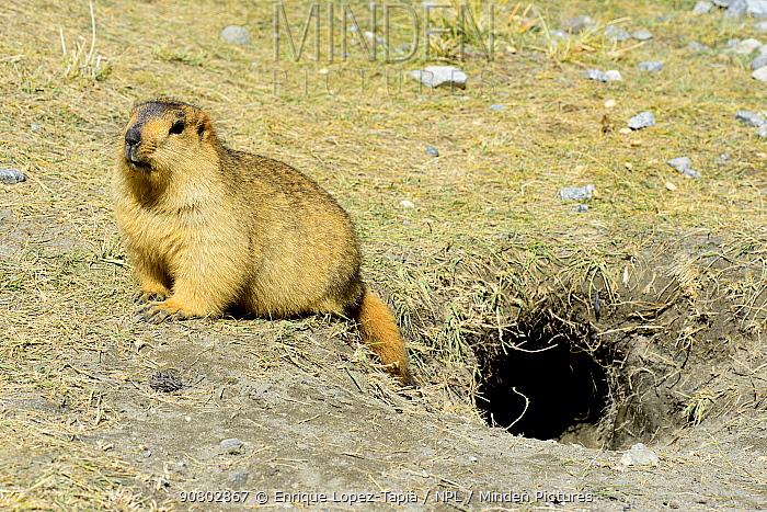 Himalayan marmot (Marmota himalayana) next to burrow, Chantang Wildlife Sanctuary, Tibet plateau. Ladakh, India,