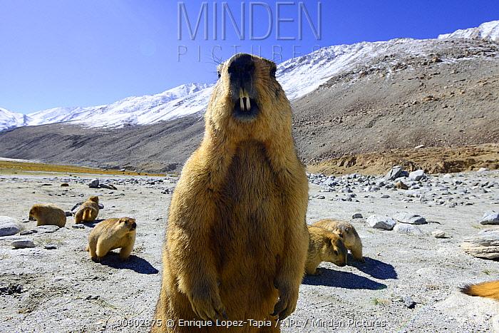 Himalayan marmot (Marmota himalayana). Chantang Wlidlife Sanctuary. Ladakh, India,