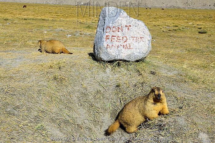 Himalayan marmot (Marmota himalayana) with Don't Feed the Animals sign painted on rock. Chantang Wlidlife Sanctuary. Ladakh, , India,