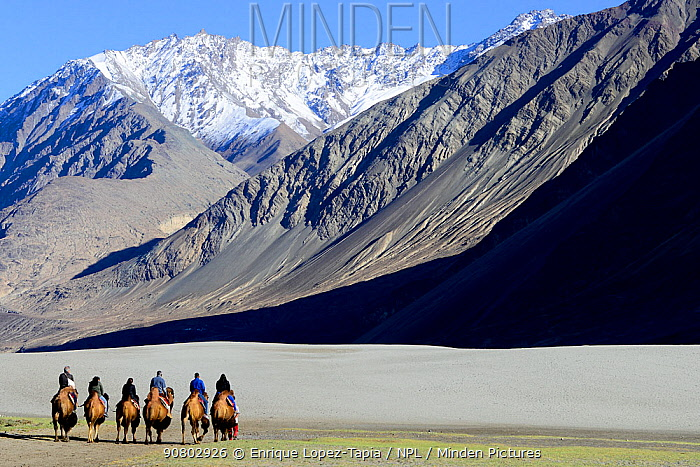 Tourists riding Bactrian camels (Camelus bactrianus) in sand dunes, Nubra Valley. Ladakh, India, September 2018.
