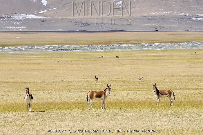 Kiangs (Equus kiang) on grassland near Tso Kar Lake, Chantang Wildlife Sanctuary. Ladakh, India, September 2018.