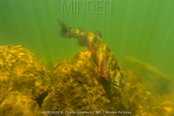 Rainbow trout (Oncorhynchus mykiss) in cold turbid water, Gunnison River, Colorado, USA, April.