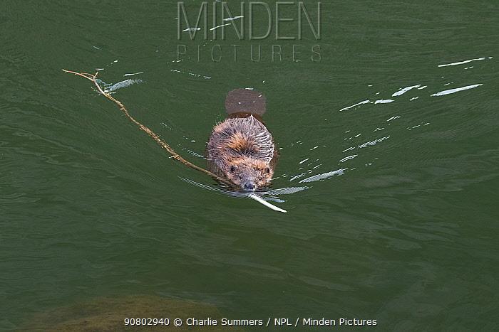 American beaver (Castor canadensis) swimming to the bank dragging a small branch, Gunnison River, Colorado, USA, April.