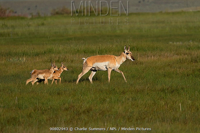Pronghorn antelopes (Antelocapra americana) with twin fawns playing, North Park Prairie, Colorado, USA, June.