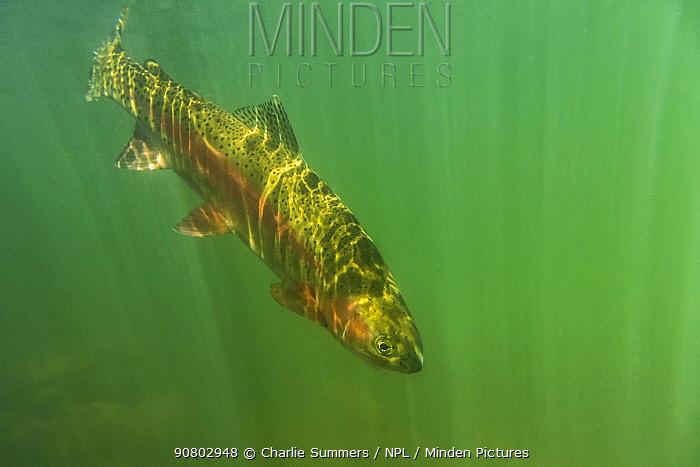 Rainbow trout (Oncorhynchus mykiss) in green turbid waters,Gunnison River, Colorado, USA, April.