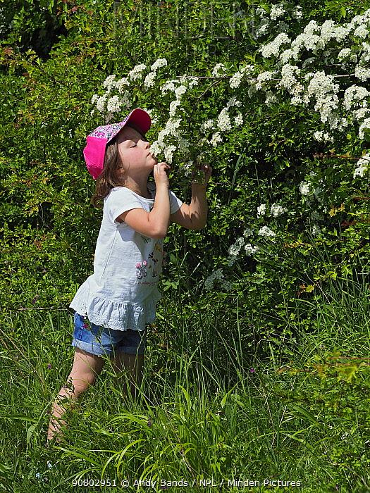 Girl smelling Hawthorn (Crataegus monogyna) blossom Hertfordshire, England, UK, May