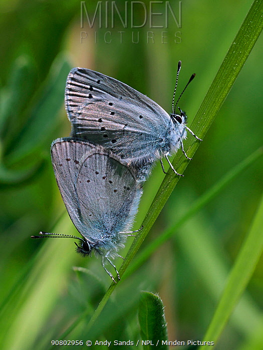 Small blue butterfly (Cupido minimus) mating pair, Hertfordshire, England, UK, May