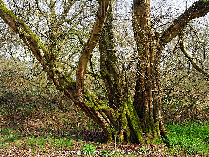 Small leaved lime / Pry Tree (Tilia cordata) veteran tree that was once a coppice stool but has remained un-cut for around 100 years plus. Ancient woodland indicator species, Suffolk, England, UK, April