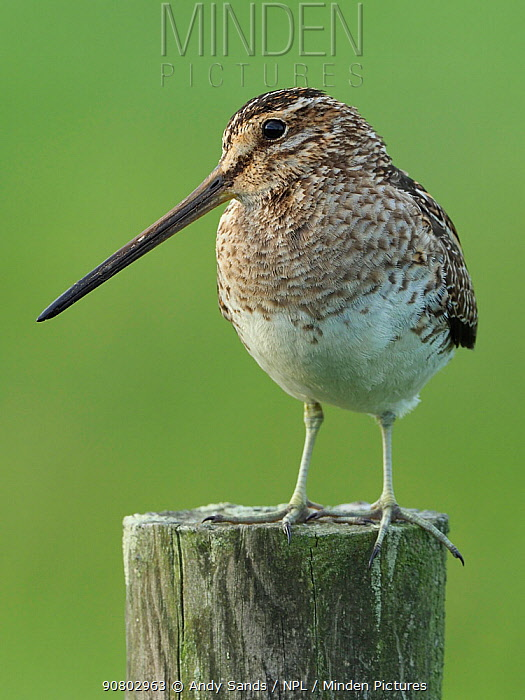 Snipe (Gallinago gallinago) on fence post. Upper Teesdale, Durham, England, UK, June