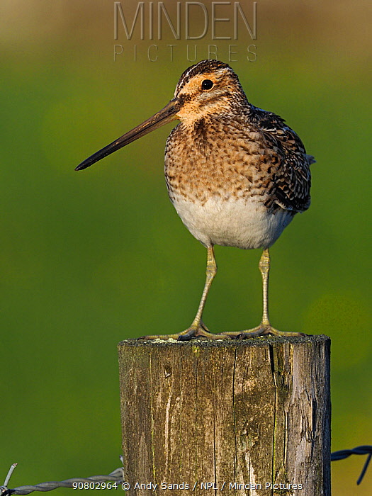 Snipe (Gallinago gallinago) male on fence post in evening sunlight. Upper Teesdale, Durham, England, UK, June