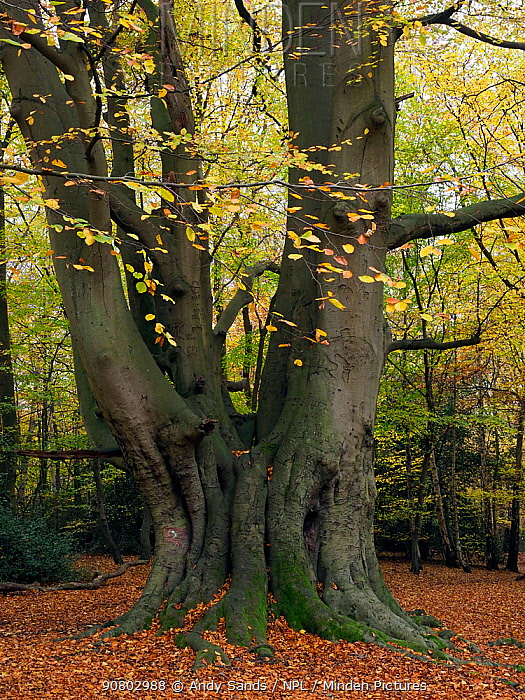 Beech Tree (Fagus sylvatica) ancient coppard - old coppice stool that was then pollarded and has since not been cut for several generations, Essex, England, UK, November