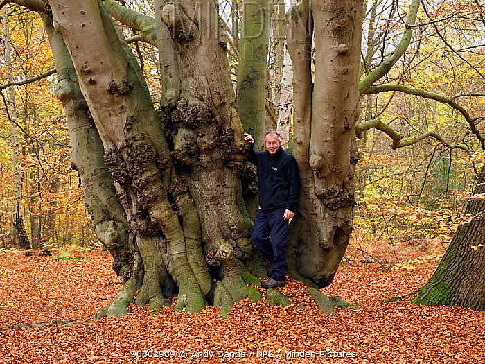 Beech Tree (Fagus sylvatica) ancient coppice stool uncut for several generations self portrait to show scale, Essex, England, UK, November