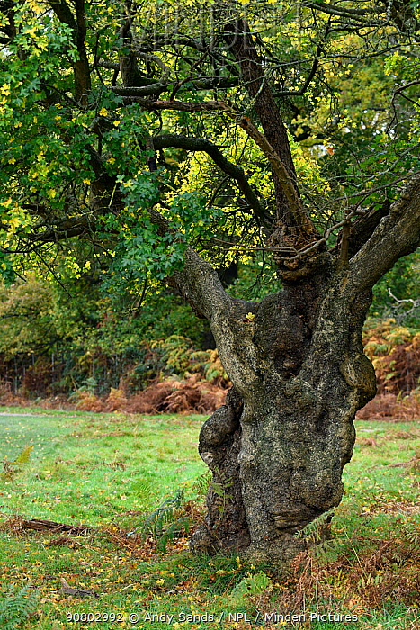 Field maple (Acer campestre) ancient pollarded tree, London, England, Uk, November