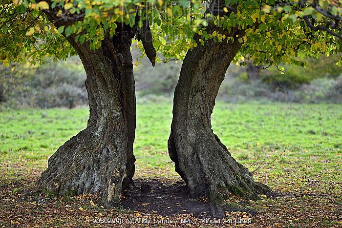 Hornbeam tree (Carpinus betulus) ancient pollard with split trunk, Hatfield Forest, Essex, England, UK, October