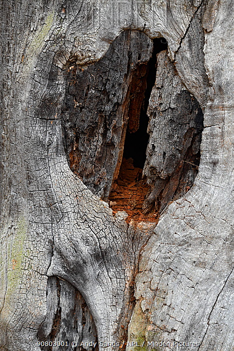 English oak tree (Quercus robur) Split in dead trunk showing red deadwood inside trunk this is a very important habitat of ancient trees for saproxylic insects, London, England, UK, November