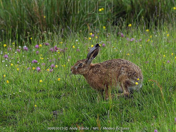 Brown hare (Lepus europaeus) feeding in upland hay meadow, Upper Teesdale, Co Durham, England, UK, June