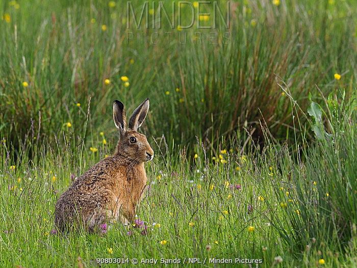 Brown hare (Lepus europaeus) In upland hay meadow, Upper Teesdale, Co Durham, England, UK, June