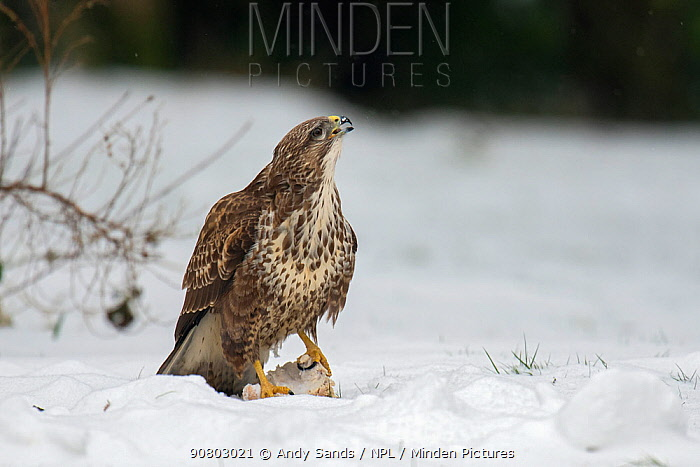 Buzzard (Buteo buteo) With food on ground in snow, Buckinghamshire, England, UK, February