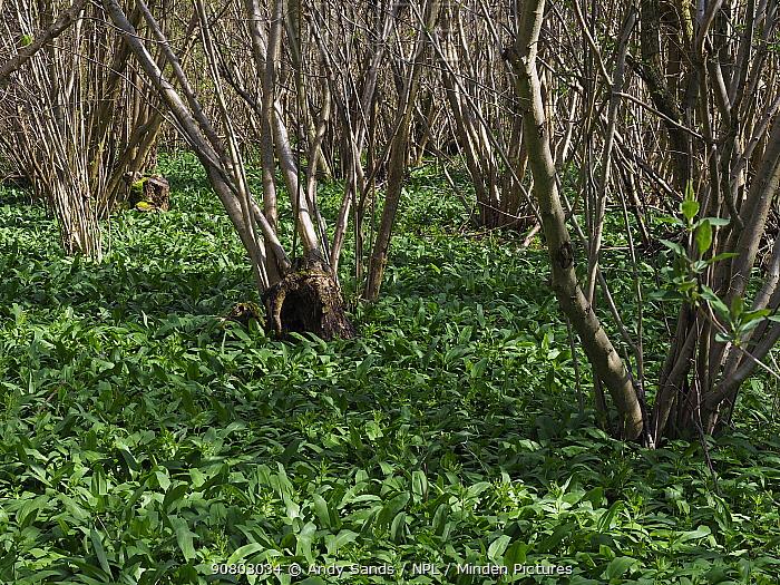 Hazel Trees (Corylus avellana) ancient coppice Hazel stools, with Ramsons (Allium ursinum) growing below, example of woodmanship and traditional woodland managment, Suffolk, England, UK, April