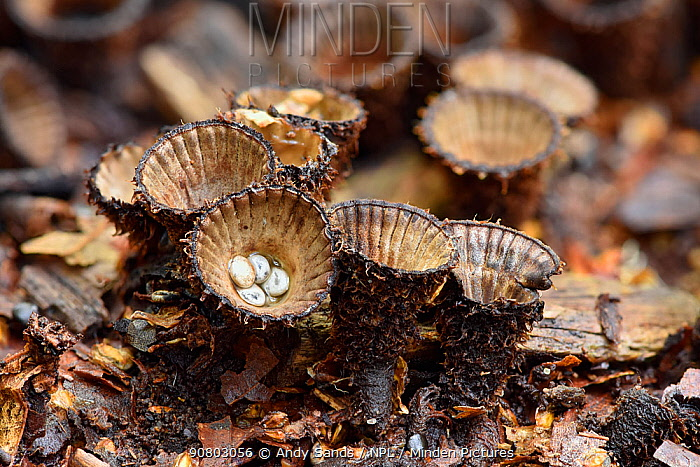 Fluted Bird's Nest (Cyathus striatus) Unusal fungus with small cup shaped nests that when open contain peridioles that look like tiny eggs, Buckinghamshire, England, UK, October - Focus Stacked Image