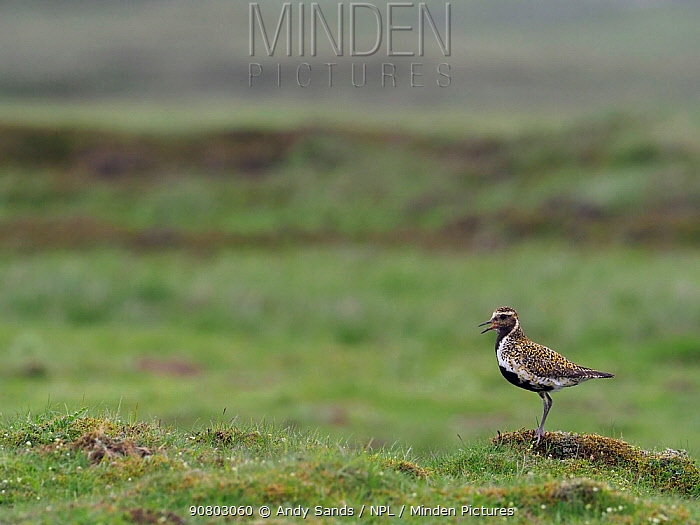 Golden plover (Pluvialis apricaria) male calling from short turf in Pennines, Upper Teesdale, Co Durham, England, UK, June