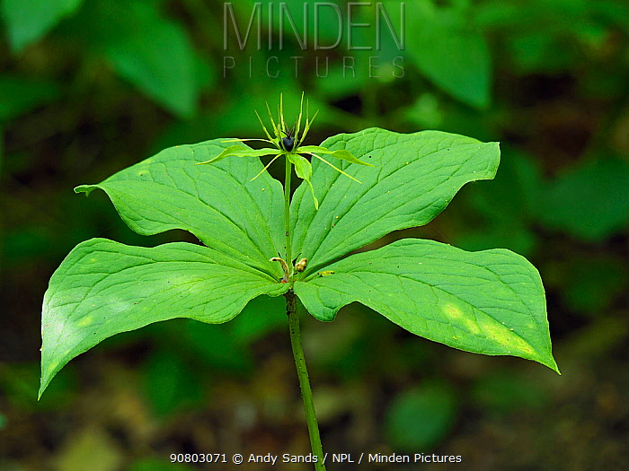 Herb paris (Paris quadrifolia) Plant growing in coppice woodland indicator species of ancient woodland, Suffolk, England, UK, May, Focus Stacked