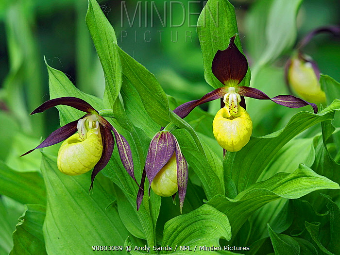 Lady's Slipper Orchid (Cypripedium calceolus) British specimen kept as part of collection at Kew Gardens, London, England, UK, May - Focus Stacked