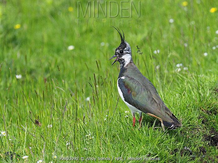 Lapwing (Vanellus vanellus) calling her chicks back, Upper Teesdale, CO Durham, England, UK, June
