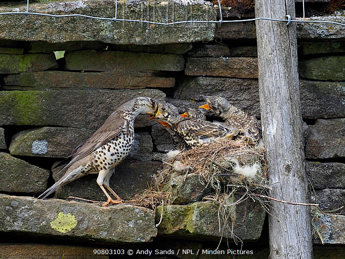 Mistle thrush (Turdus viscivorus) feeding young at nest, Upper Teesdale, Co Durham, England, UK, June