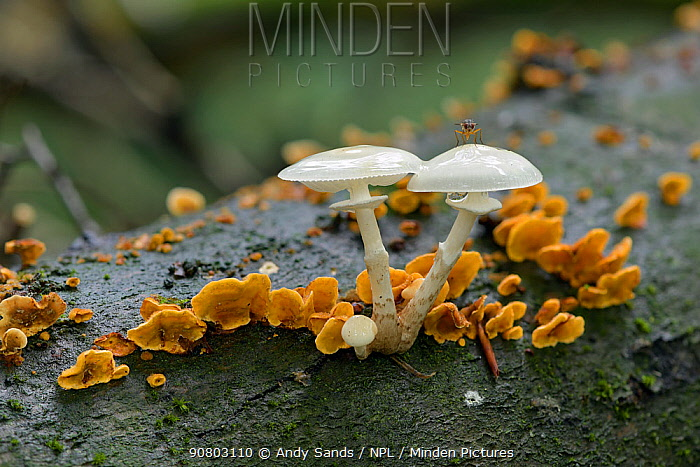 Porcelain fungus (Oudemansiella mucida) growing from fallen Beech tree, Buckinghamshire, England, UK, October