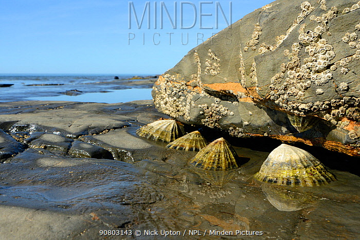 Common limpets (Patella vulgata) and Poli's stellate barnacles (Chthamalus stellatus) on rocks exposed at low tide. Kimmeridge, Dorset, England, UK. July.