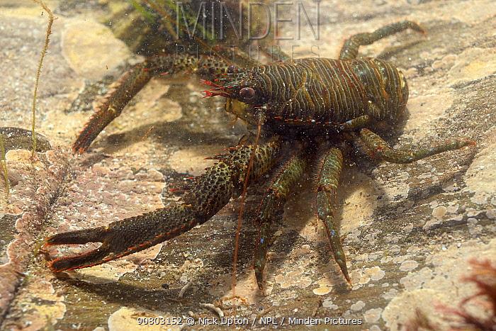 Squat lobster (Galathea squamifera) in rockpool. South Devon, England, UK. September.