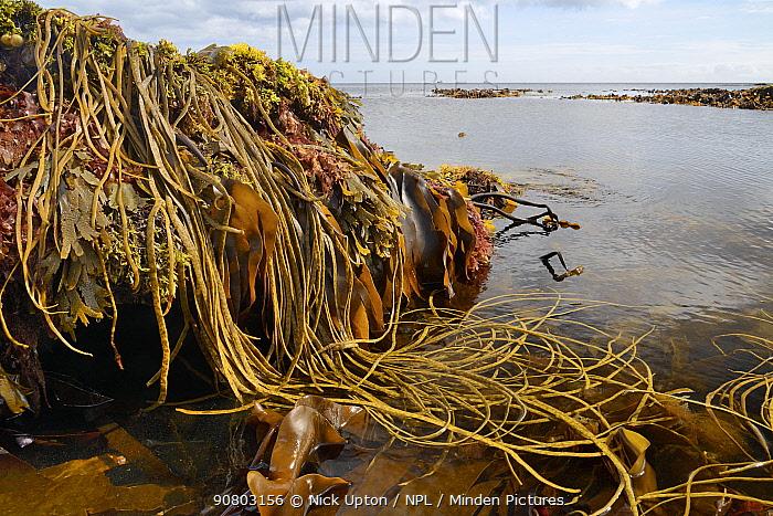 Seaweeds including Thongweed / Sea thong (Himanthalia elongata), Tangleweed kelp (Laminaria digitata), Toothed wrack (Fucus serratus) and Dulse (Palmaria palmata). Exposed on rocky shore on low spring tide. Near Falmouth, Cornwall, England, UK. September 2018.