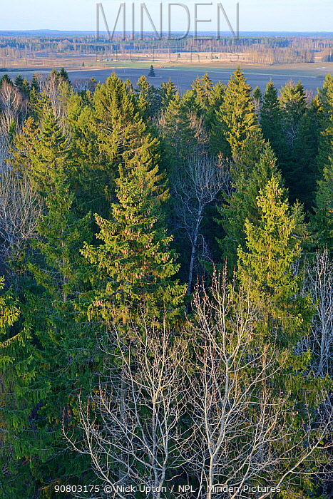 Lisaku Park Forest from above, a mix of mature Fir (Abies sp) trees, Birch (Betula sp) and Eurasian aspen (Populus tremula). Forest host to Siberian flying squirrel (Pteromys volans). Estonia, April 2018.